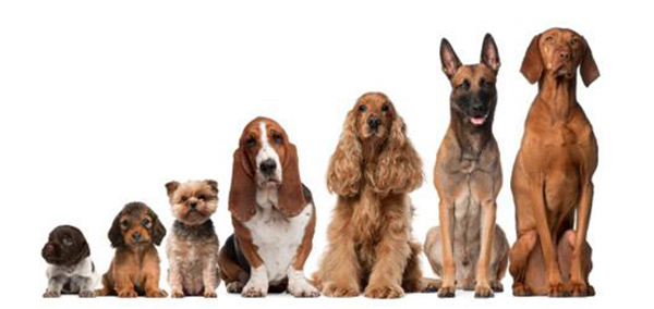 Сколько лет живут собаки. Средняя продолжительность жизни собак разных пород.